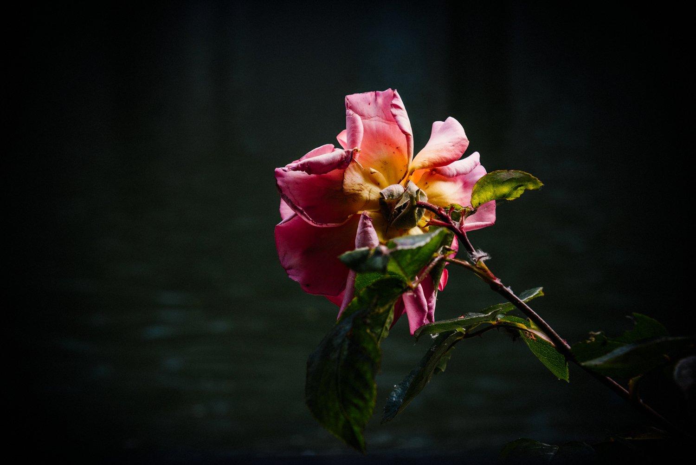 Pink Rose at Barbican Estate London