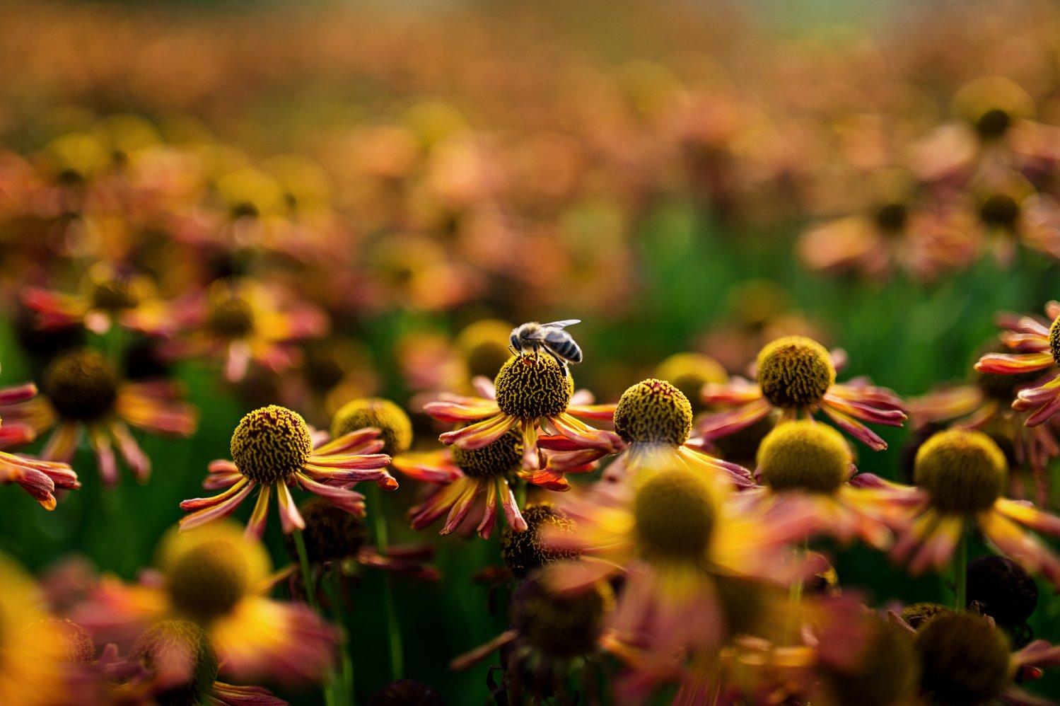 Honey bee pollenating Somerset Babb photo