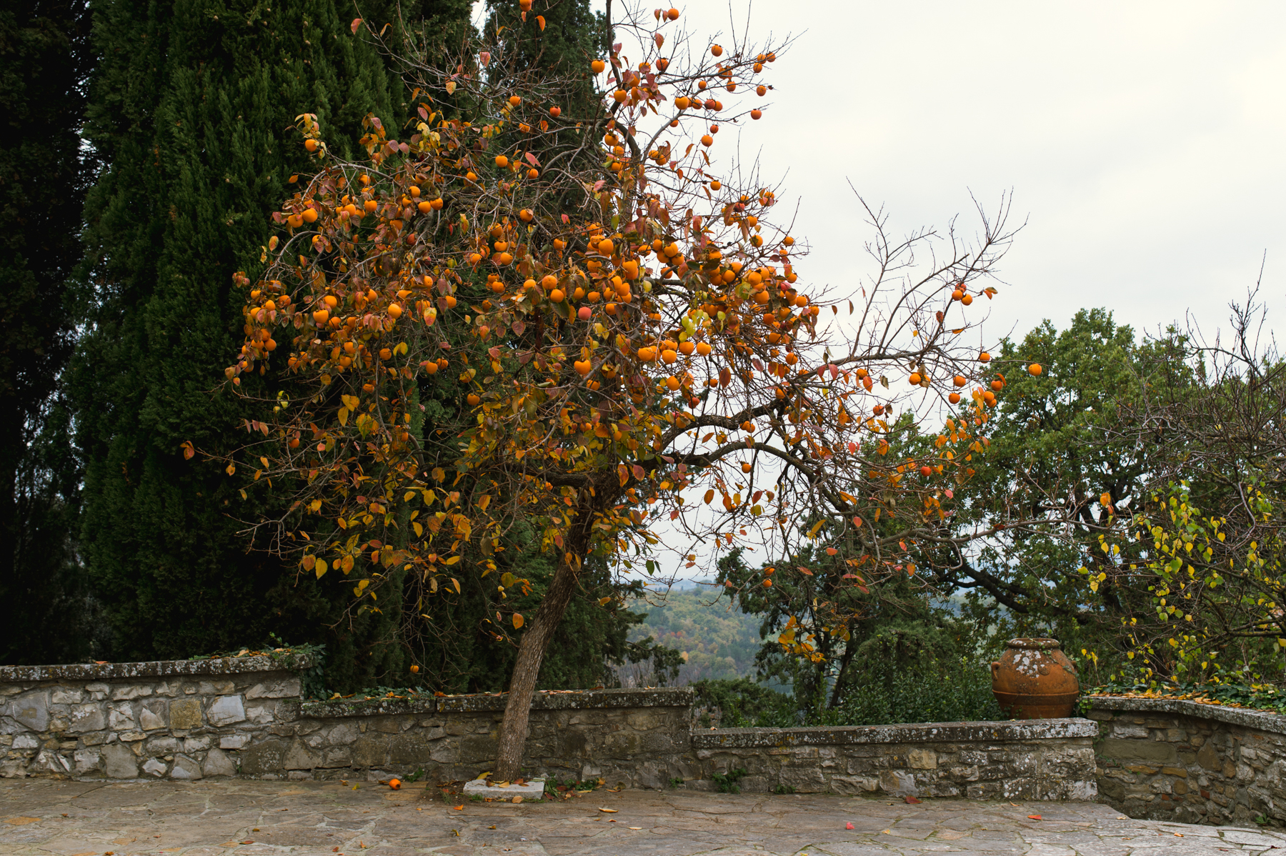 Orange tree Babb Photo