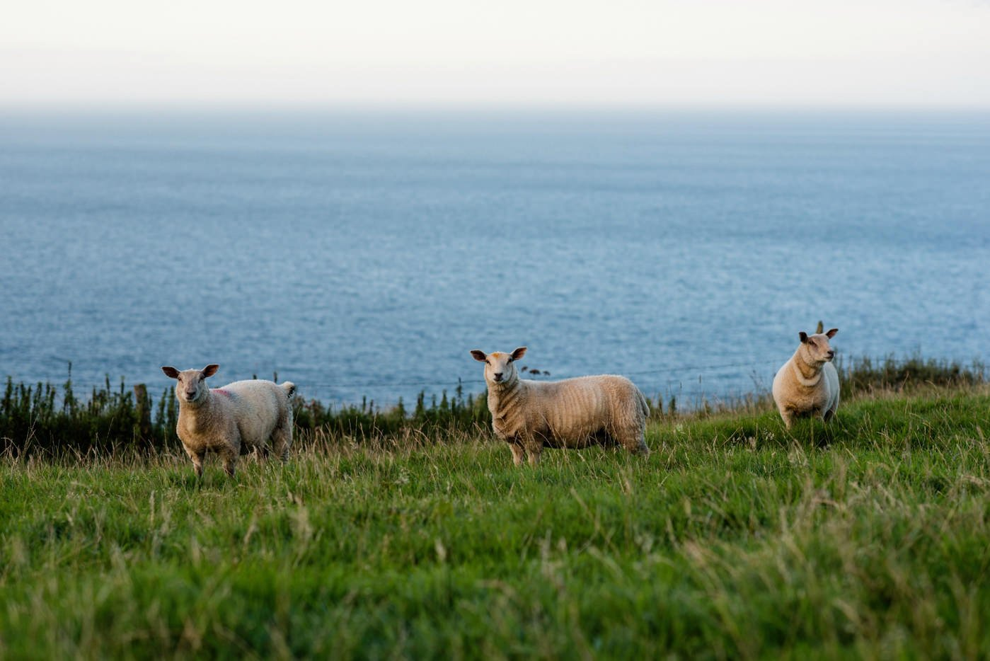 Sheep in Donegal